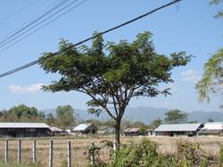Acacia Flower - Tree in Thailand